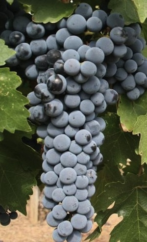Cabernet Sauvignon Grapes  -  Copyright Wikipedia
