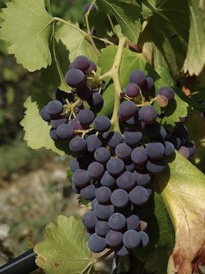Grenache Grapes  -  Copyright Wikipedia