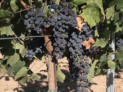 Merlot Grapes  -  Copyright Wikipedia
