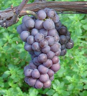 Pinot Gris Grapes  -  Copyright Wikipedia