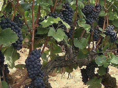 Pinot Noir Grapes  -  Copyright Wikipedia