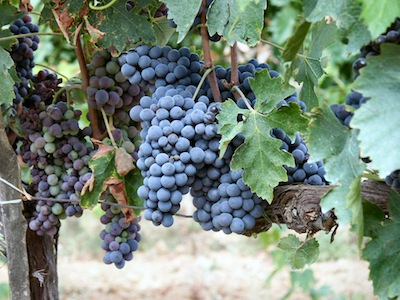 Sangiovese Grapes - Copyright Wikipedia