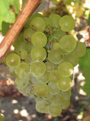 Sauvignon Blanc Grapes  -  Copyright Wikipedia