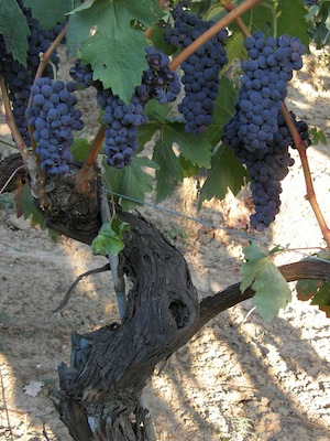 Tempranillo Grapes  -  Copyright Wikipedia